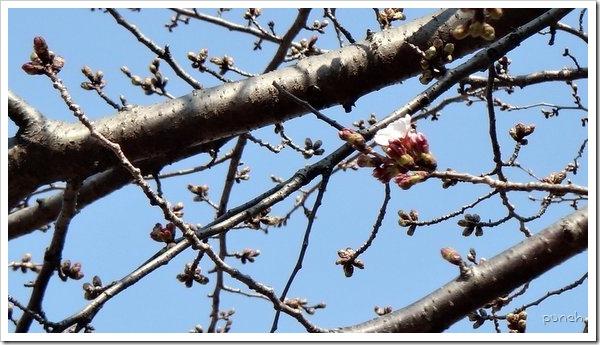 湘南台の桜