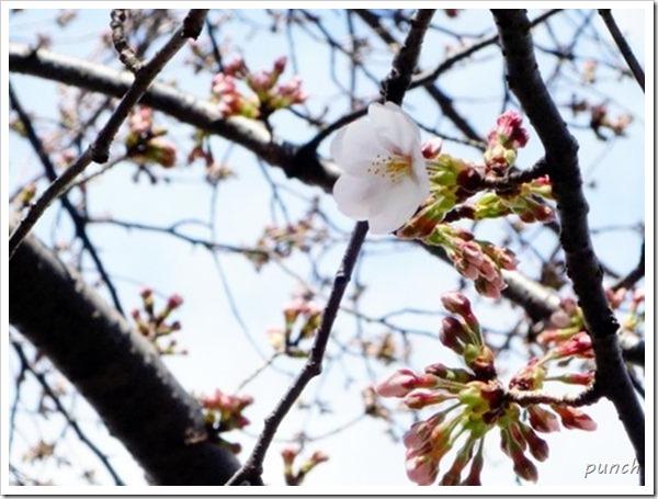 湘南台境川沿いの桜