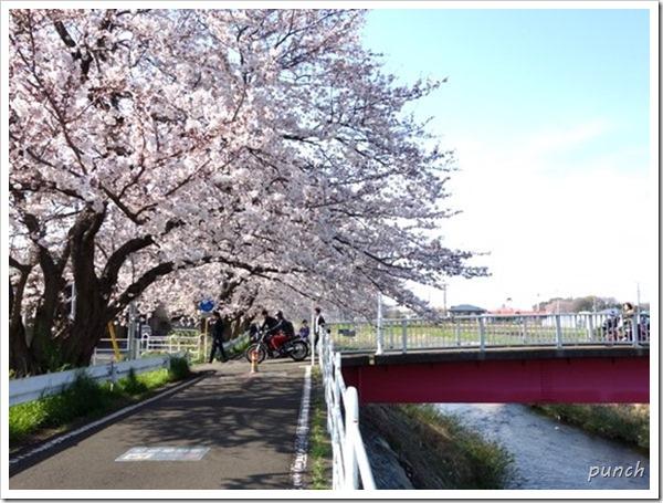 湘南台境川沿いの桜2015
