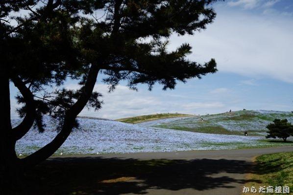 ひたち海浜公園みはらしの丘ネモフィラ