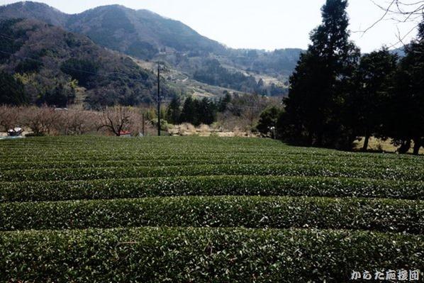 シダンゴ山への茶畑道
