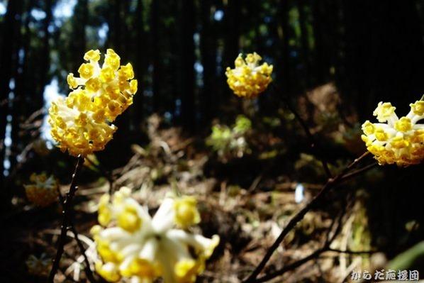 シダンゴ山のミツマタ