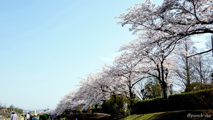 秦野、水無川の桜