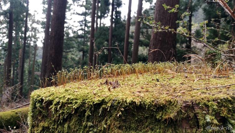 鍋割山付近の苔むした切り株