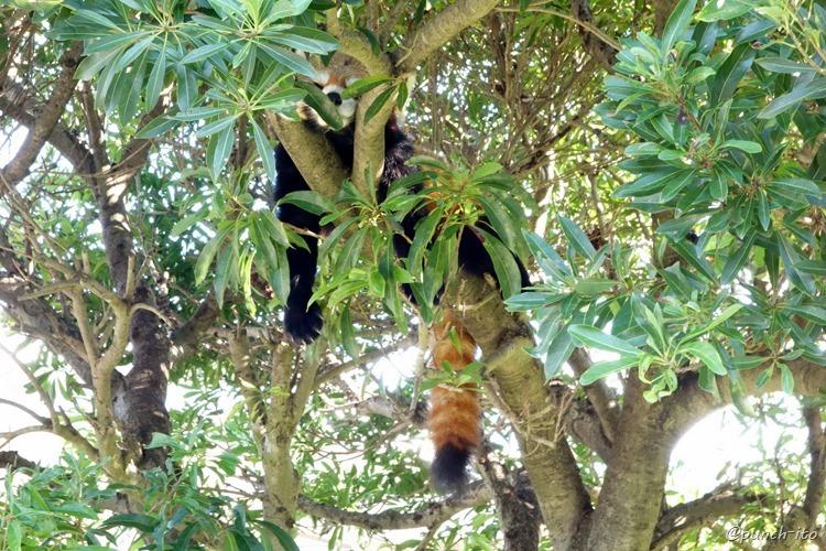 大島動物園のレッサーパンダ