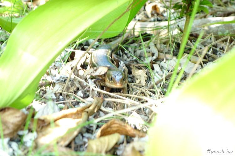【cafeいかり】の庭に居た日本最大のトカゲ(キシノウエトカゲ)