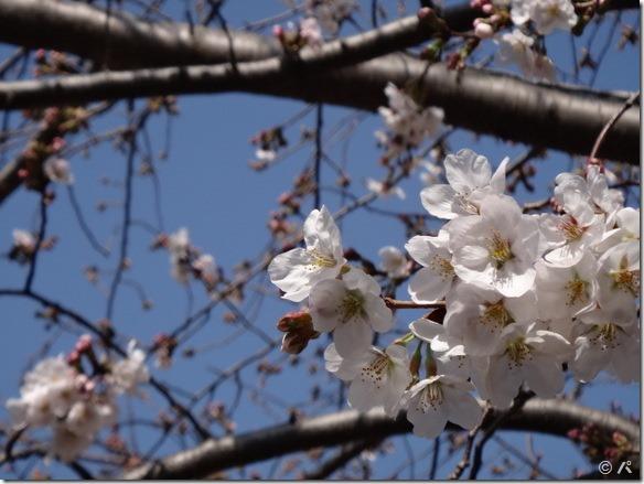 湘南台の桜2013