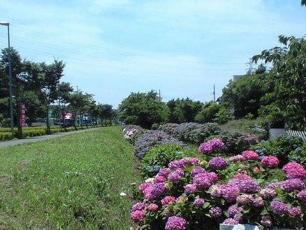 この体レンタル中につき-遠藤の紫陽花