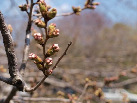 釣りとトリガーポイントと私-引地川の桜