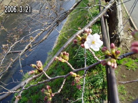 釣りとトリガーポイントで自由自在-引治川の桜2006
