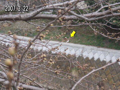 釣りとトリガーポイントで自由自在-引治川の桜2007