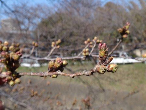 釣りとトリガーポイントで自由自在-引治川の桜